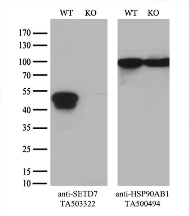 SETD7 Mouse anti-Canine, Human, Mouse, Rat, Clone: OTI2D10, liquid, TrueMAB