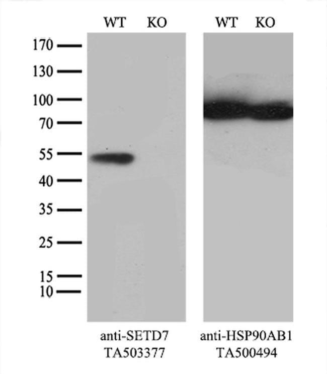SETD7 Mouse anti-Human, Mouse, Clone: OTI2E3, liquid, TrueMAB  100 µL;