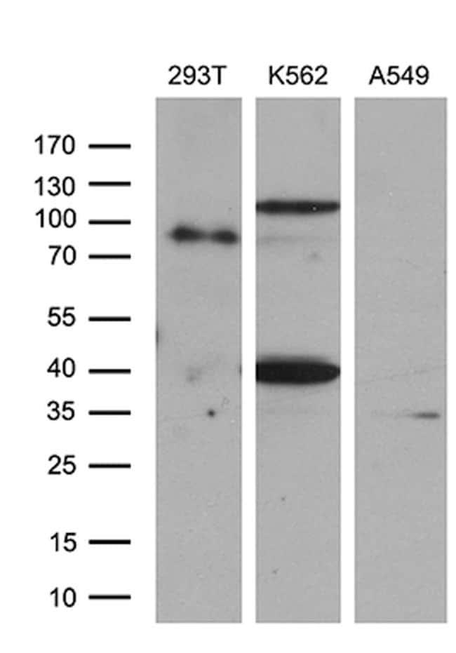 SETD8 Mouse anti-Human, Clone: OTI2H5, lyophilized, TrueMAB  100 µg;