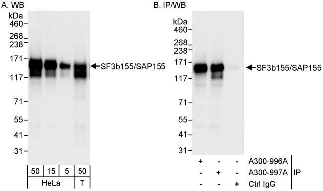 SF3b155/SAP155 Rabbit anti-Human, Polyclonal, Bethyl Laboratories 100 μL;
