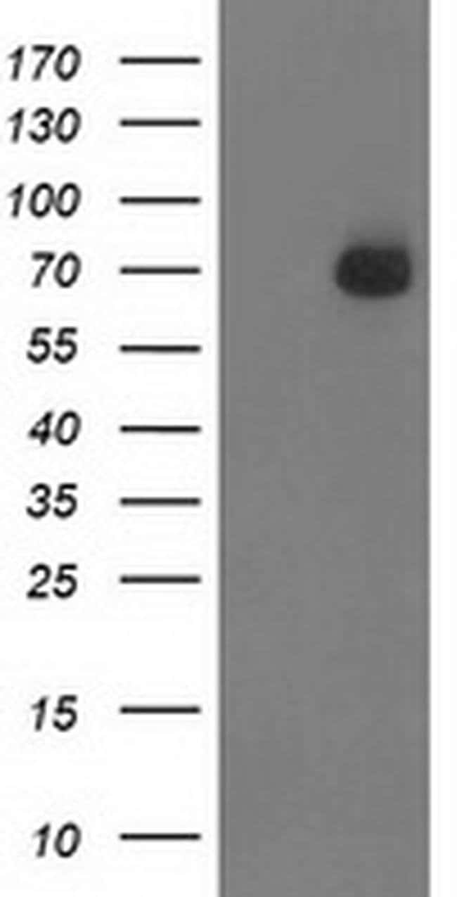 SH2B3 Mouse anti-Human, Clone: OTI1F6, liquid, TrueMAB  100 µL; Unconjugated
