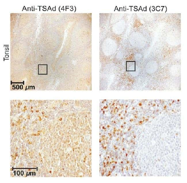 SH2D2A Mouse anti-Human, Mouse, Clone: OTI3C7, liquid, TrueMAB  100 µL;