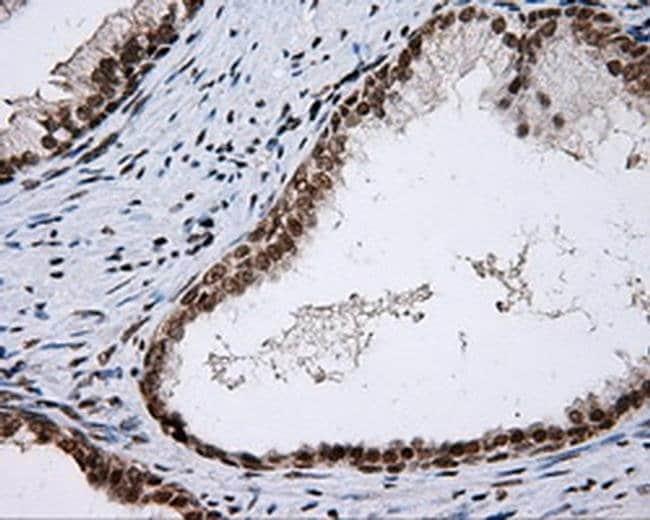 SHC1 Mouse anti-Human, Clone: OTI3A1, liquid, TrueMAB  100 µL; Unconjugated