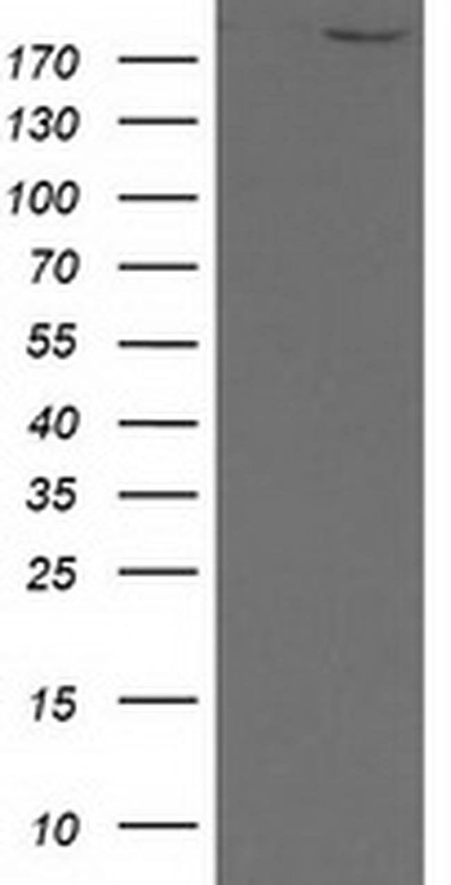 SHPRH Mouse anti-Human, Clone: OTI5A8, liquid, TrueMAB  100 µL; Unconjugated