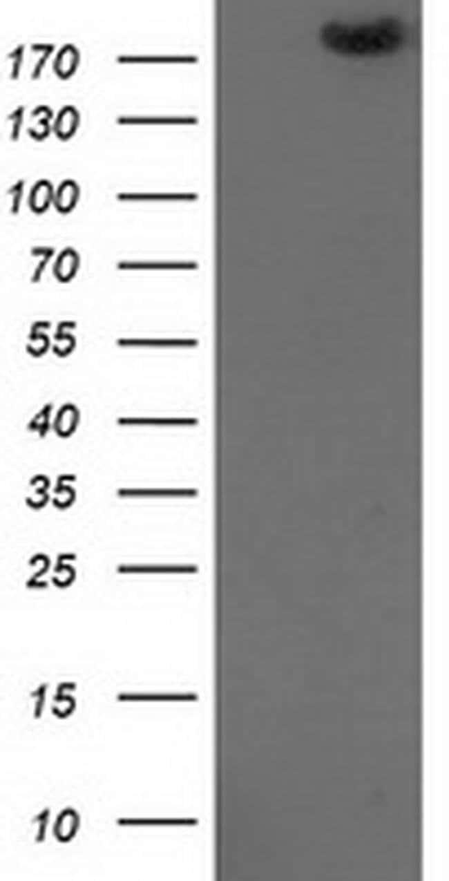 SHPRH Mouse anti-Human, Clone: OTI5D4, liquid, TrueMAB  100 µL; Unconjugated
