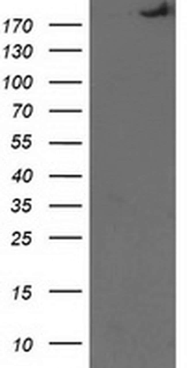 SHPRH Mouse anti-Human, Clone: OTI5G8, liquid, TrueMAB  100 µL; Unconjugated