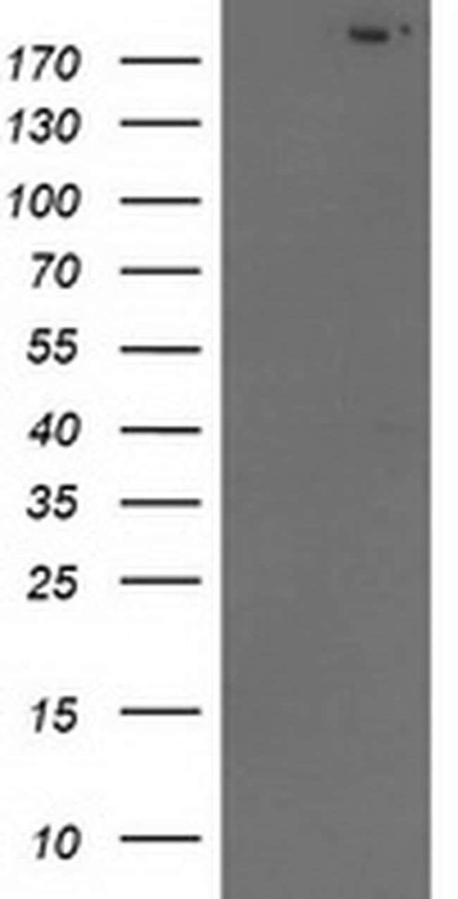 SHPRH Mouse anti-Human, Clone: OTI4A3, liquid, TrueMAB  100 µL; Unconjugated