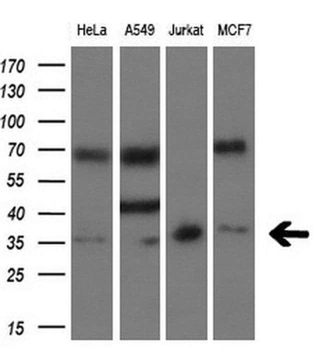 SIX1 Mouse anti-Human, Clone: OTI1H4, liquid, TrueMAB  30 µL; Unconjugated