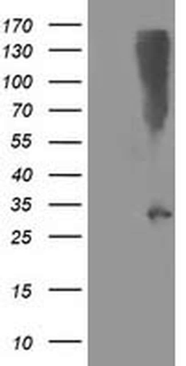SNAP25 Mouse anti-Human, Clone: OTI4B2, liquid, TrueMAB  100 µL; Unconjugated