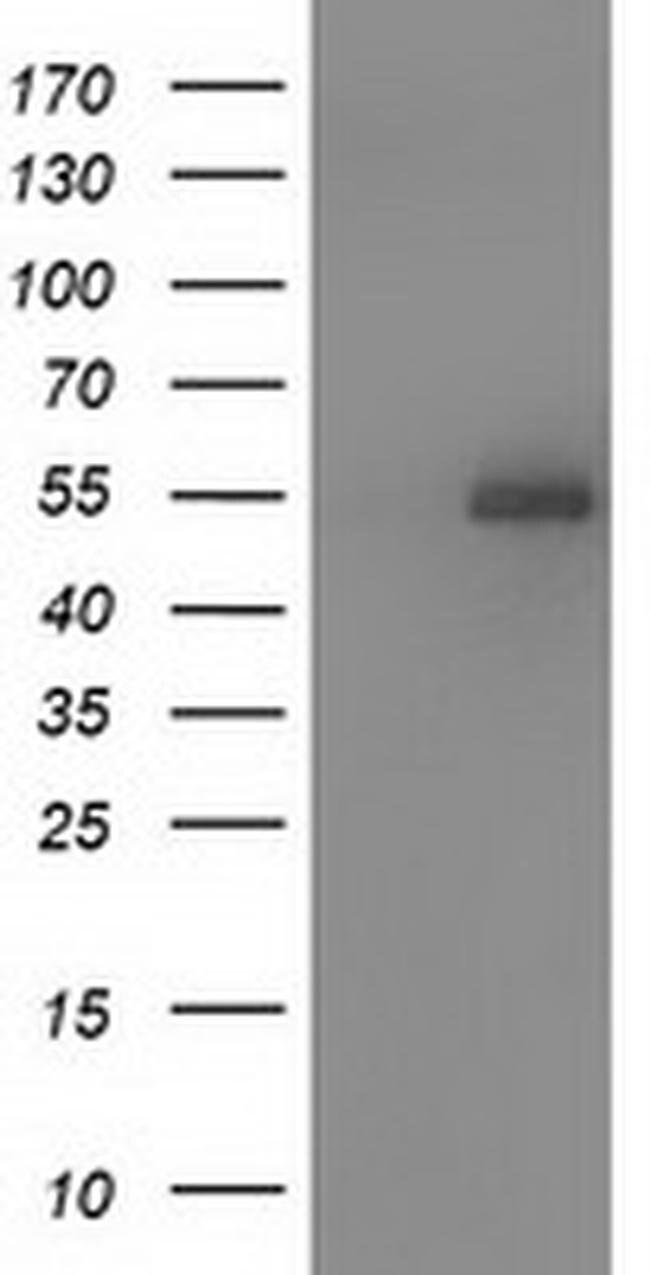 SNTA1 Mouse anti-Human, Clone: OTI2E10, liquid, TrueMAB  100 µL; Unconjugated