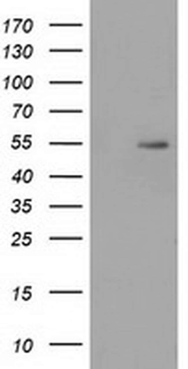 SNTA1 Mouse anti-Human, Clone: OTI2D5, liquid, TrueMAB  100 µL; Unconjugated