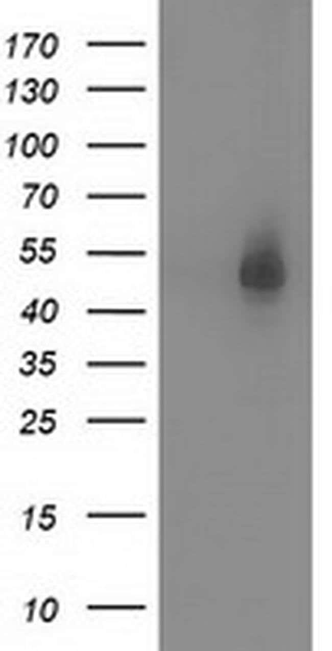 SNTA1 Mouse anti-Canine, Human, Rat, Clone: OTI1H10, liquid, TrueMAB  100
