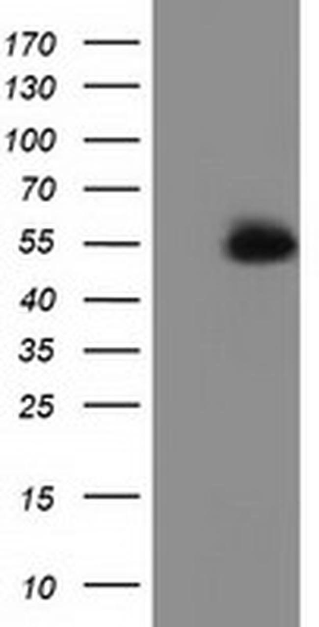 SNTA1 Mouse anti-Human, Clone: OTI1D4, liquid, TrueMAB  100 µL; Unconjugated