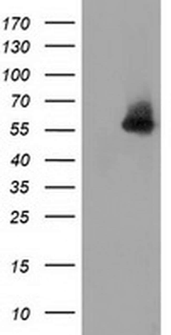 SNTA1 Mouse anti-Human, Clone: OTI2B4, liquid, TrueMAB  100 µL; Unconjugated
