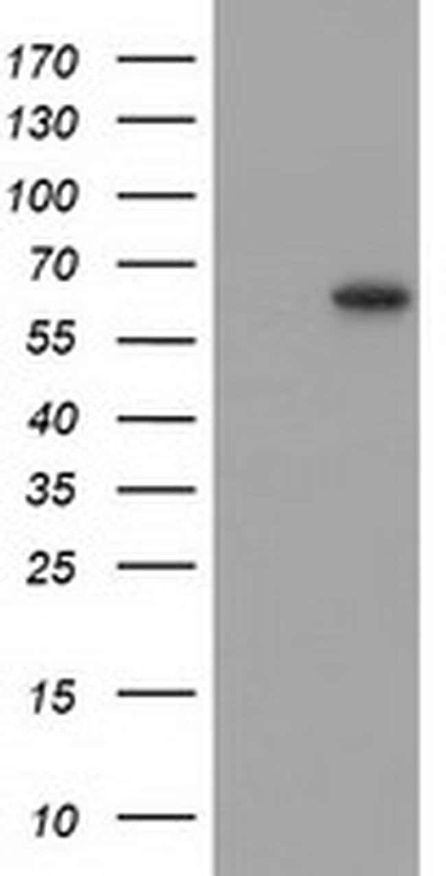 SNTG1 Mouse anti-Human, Clone: OTI3G10, liquid, TrueMAB  100 µL; Unconjugated