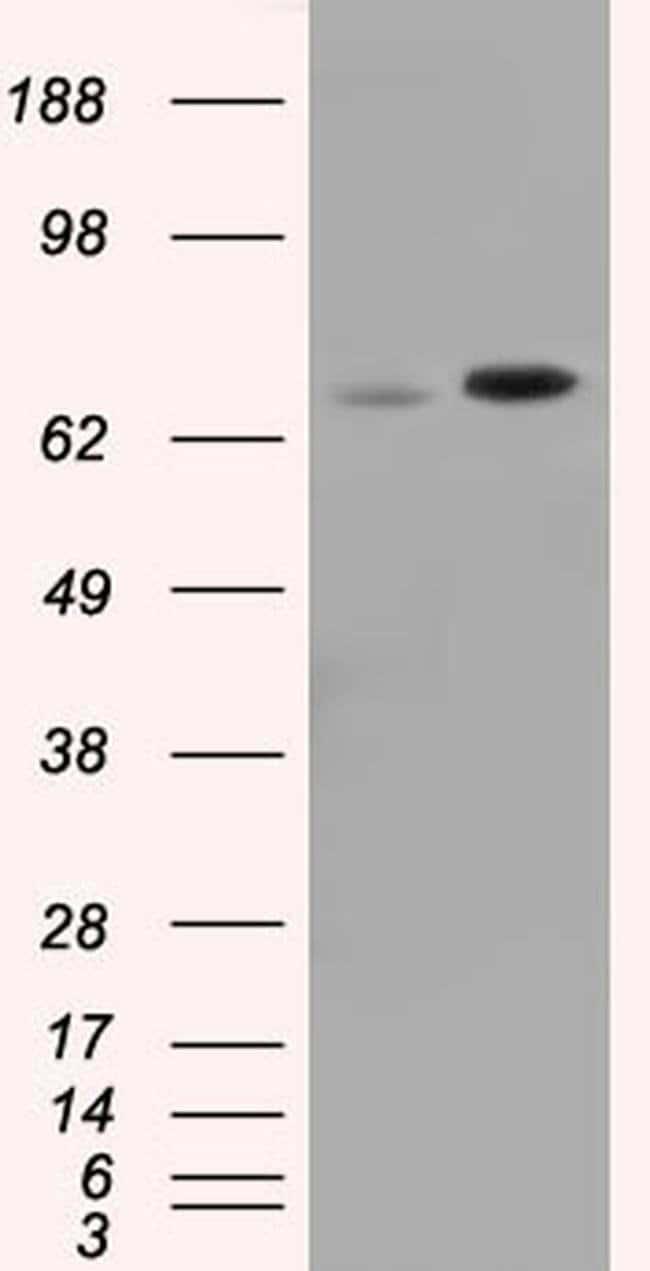 SNX9 Mouse anti-Canine, Human, Rat, Clone: OTI1B5, liquid, TrueMAB  30