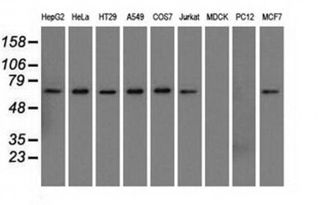 SNX9 Mouse anti-Human, Clone: OTI2A6, liquid, TrueMAB  100 µL; Unconjugated