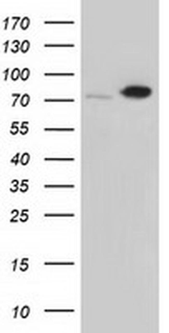 SNX9 Mouse anti-Canine, Human, Clone: OTI2B5, liquid, TrueMAB  100 µL;