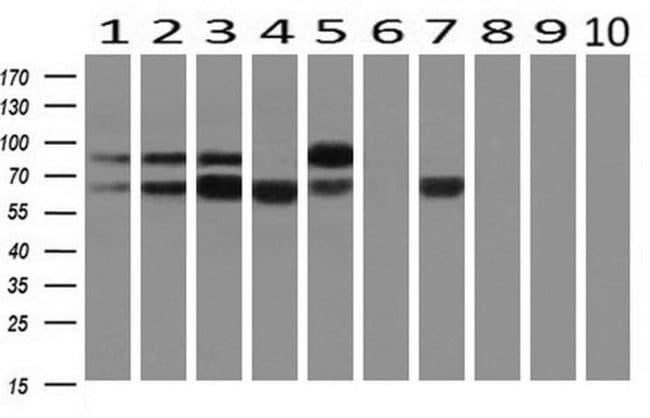 SNX9 Mouse anti-Human, Clone: OTI2F1, liquid, TrueMAB  100 µL; Unconjugated