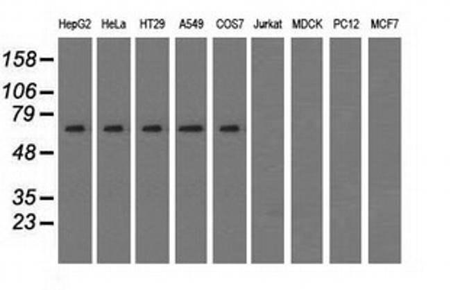 SNX9 Mouse anti-Human, Clone: OTI2G4, liquid, TrueMAB  100 µL; Unconjugated