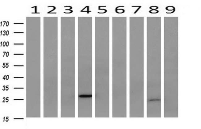 SOCS3 Mouse anti-Human, Clone: OTI5D4, liquid, TrueMAB  100 µL; Unconjugated