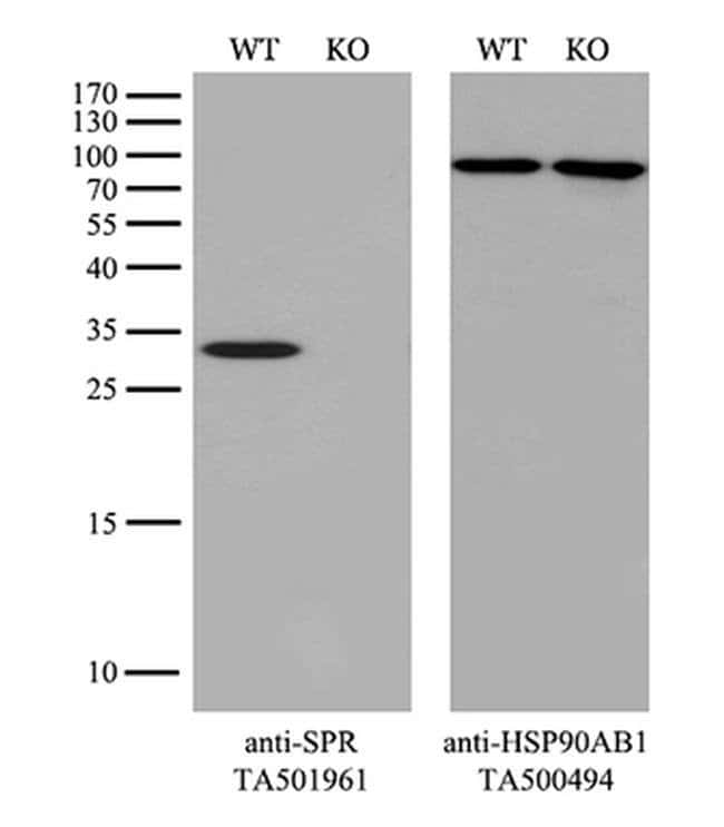 SPR Mouse anti-Human, Clone: OTI3A9, liquid, TrueMAB  100 µL; Unconjugated