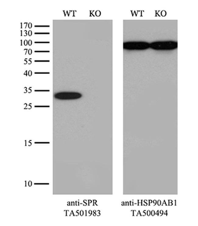 SPR Mouse anti-Human, Rat, Clone: OTI4F5, liquid, TrueMAB  100 µL;