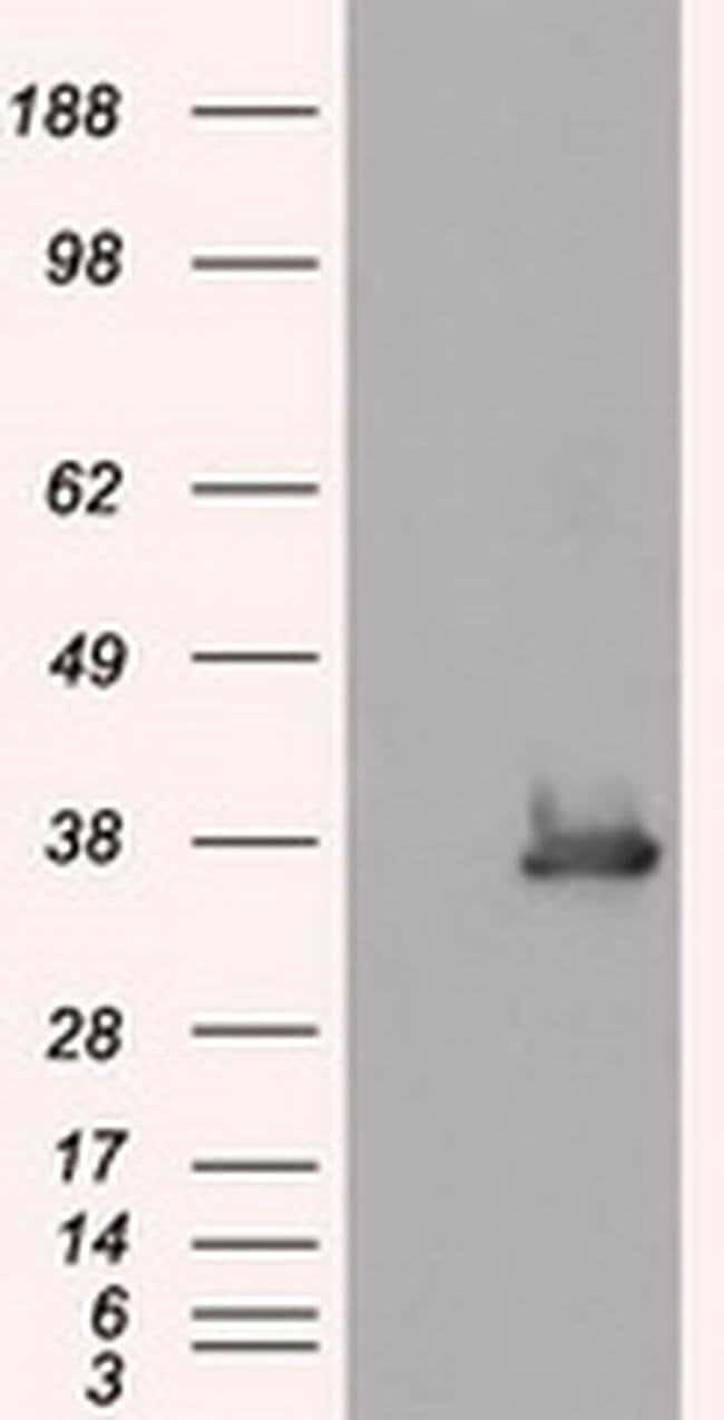 SRR Mouse anti-Human, Clone: OTI5D10, liquid, TrueMAB  100 µL; Unconjugated