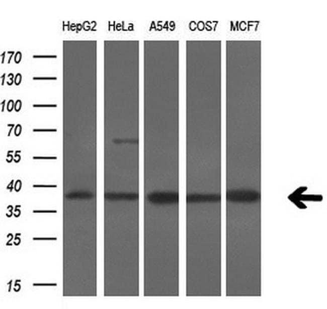 SRR Mouse anti-Human, Clone: OTI7E8, liquid, TrueMAB  100 µL; Unconjugated