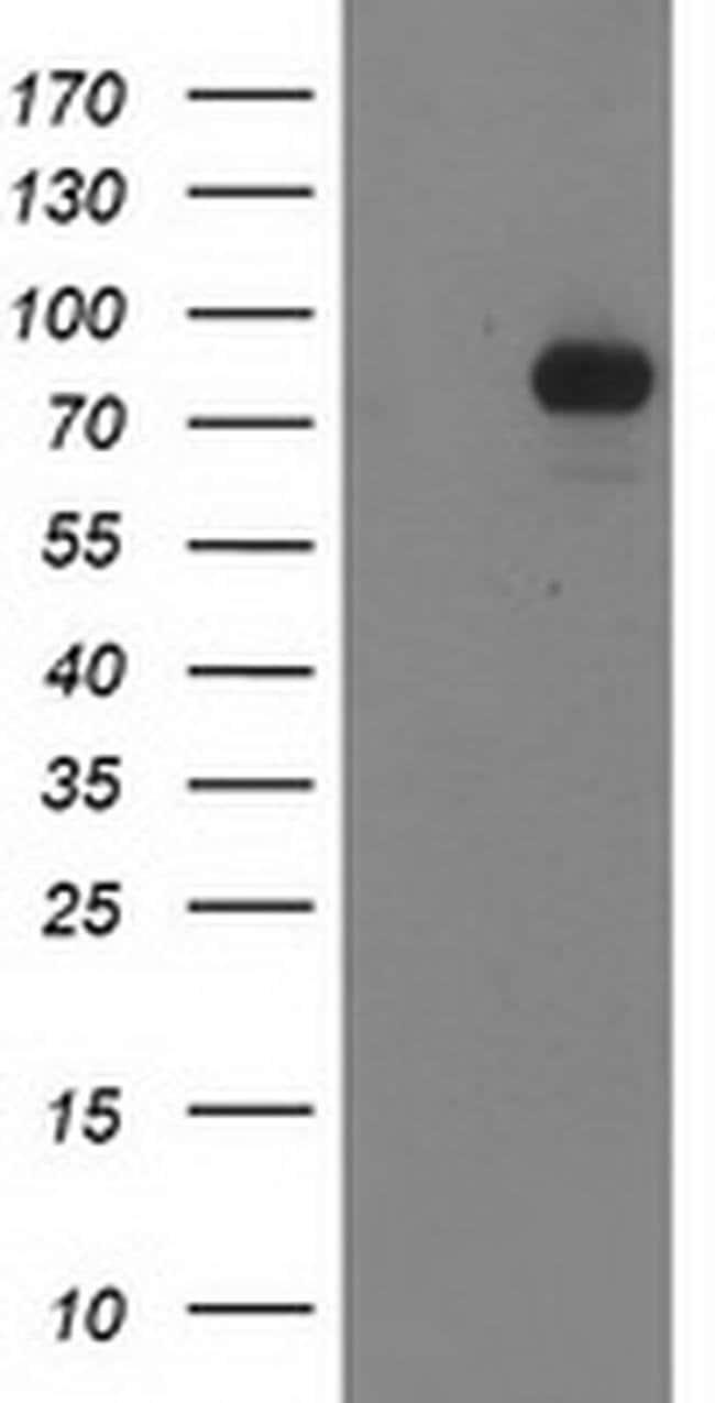 STAT4 Mouse anti-Human, Clone: OTI1G9, liquid, TrueMAB  100 µL; Unconjugated