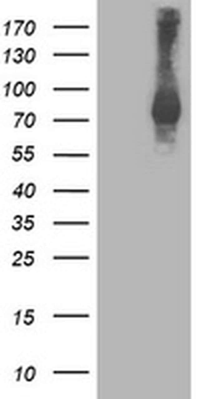 STAT4 Mouse anti-Human, Clone: OTI1B1, liquid, TrueMAB  100 µL; Unconjugated