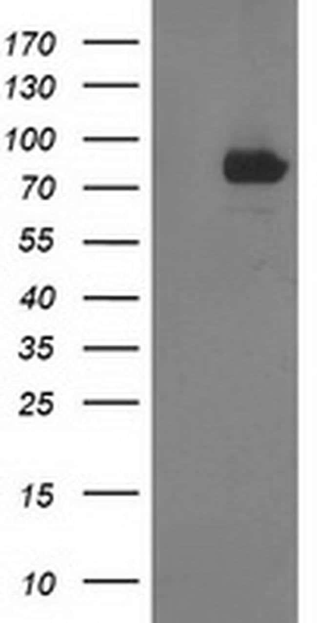 STAT4 Mouse anti-Human, Clone: OTI2G5, liquid, TrueMAB  100 µL; Unconjugated