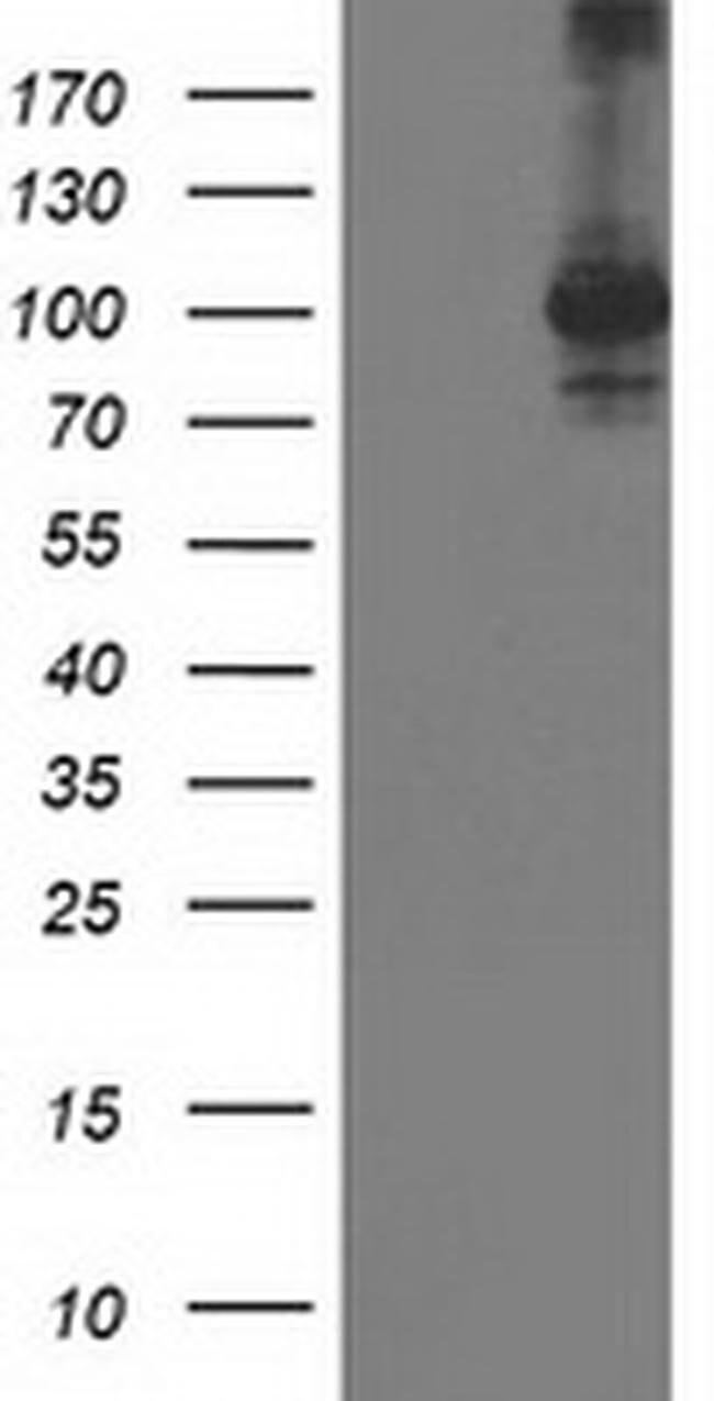 STAT4 Mouse anti-Human, Clone: OTI4F9, liquid, TrueMAB  100 µL; Unconjugated