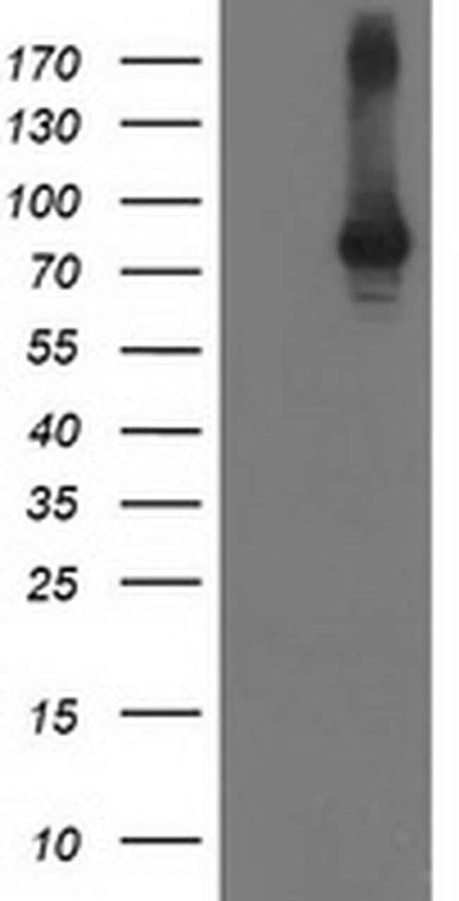 STAT4 Mouse anti-Human, Clone: OTI 4H4, liquid, TrueMAB  100 µL; Unconjugated