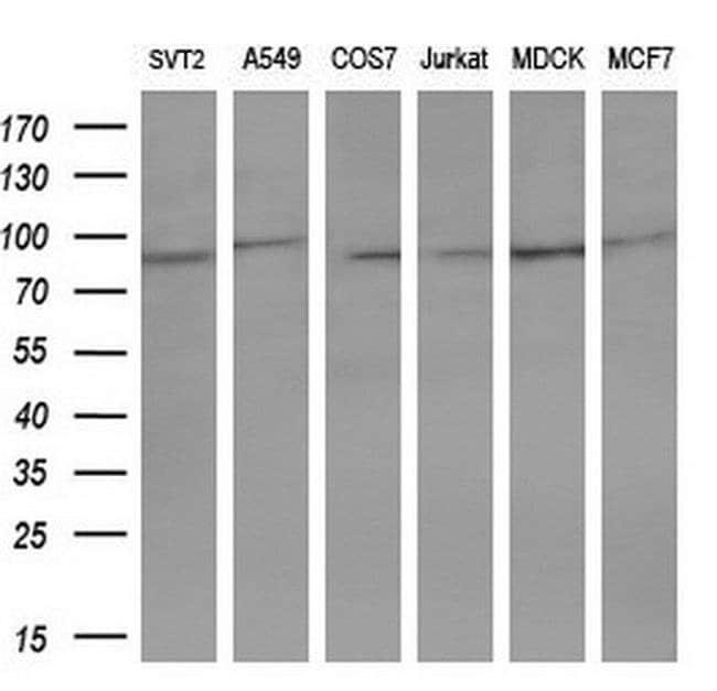 STAT5A Mouse anti-Human, Clone: OTI8H1, liquid, TrueMAB  100 µL; Unconjugated