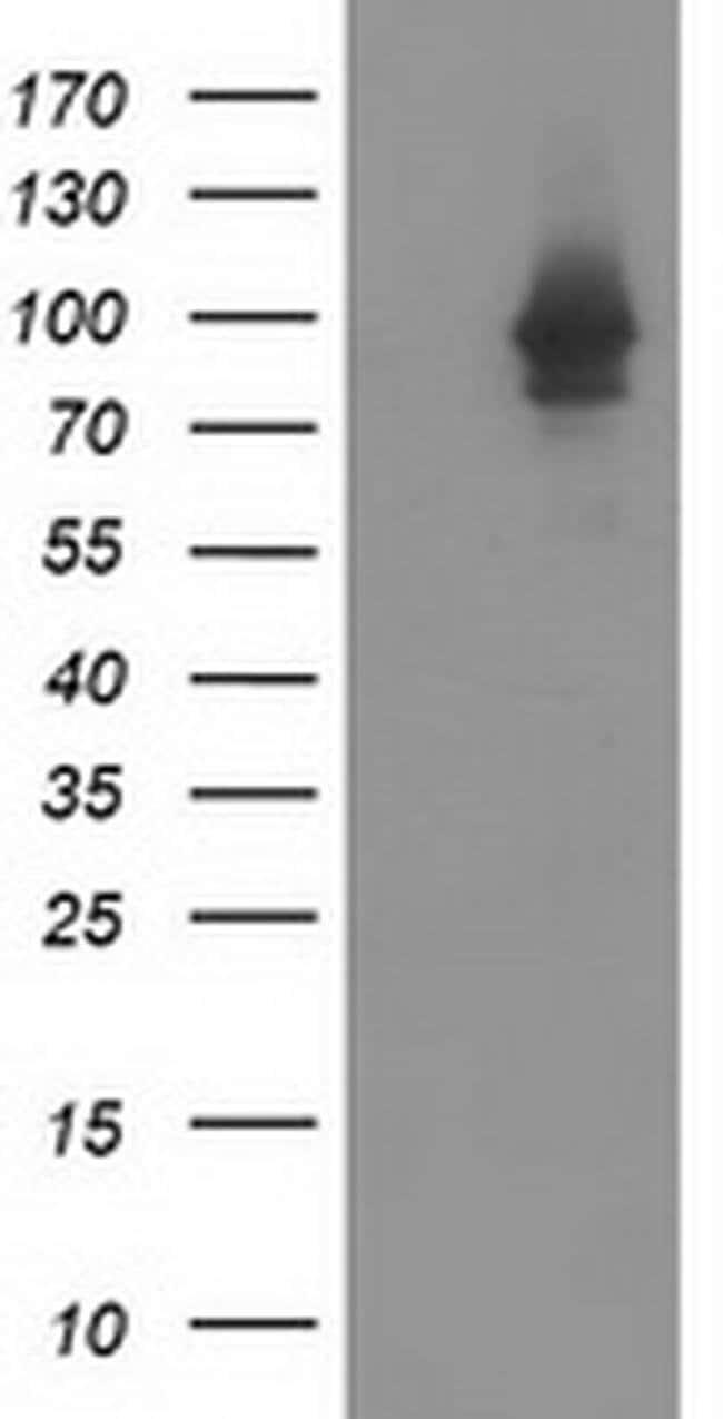 STAT5A Mouse anti-Canine, Human, Rat, Clone: OTI4E7, liquid, TrueMAB  100