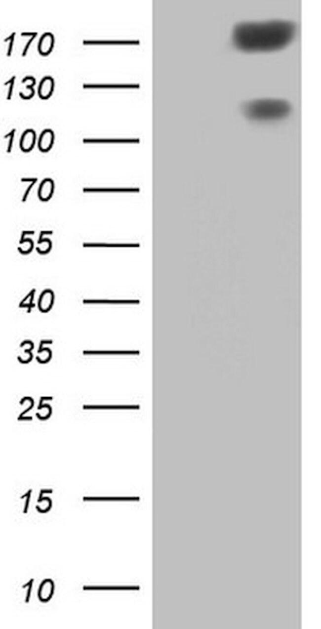 SYNM Mouse anti-Human, Clone: OTI3D10, lyophilized, TrueMAB  100 µg;