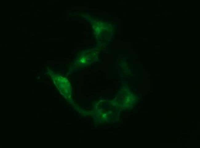 SYP Mouse anti-Human, Clone: OTI3E2, liquid, TrueMAB  30 µL; Unconjugated