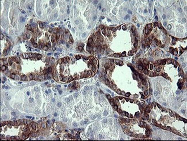 SYP Mouse anti-Human, Clone: OTI1D4, liquid, TrueMAB  100 µL; Unconjugated