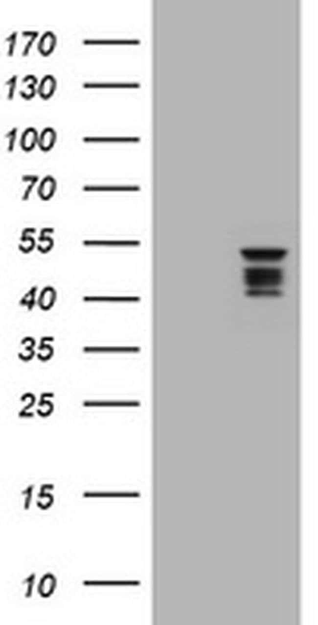 SYT4 Mouse anti-Human, Clone: OTI3B5, liquid, TrueMAB  100 µL; Unconjugated