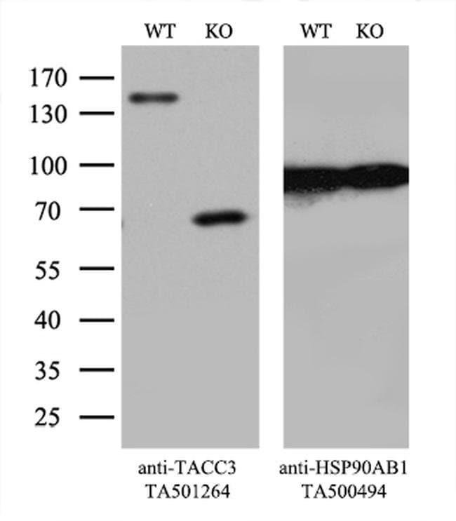 TACC3 Mouse anti-Human, Clone: OTI6H4, liquid, TrueMAB  100 µL; Unconjugated
