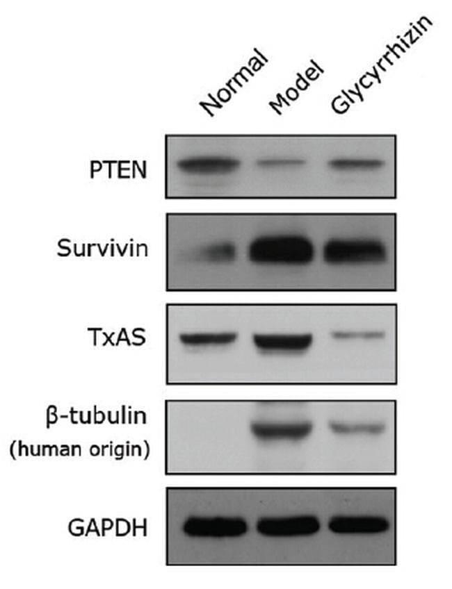 TBXAS Mouse anti-Human, Rat, Clone: OTI2C1, liquid, TrueMAB  100 µL;