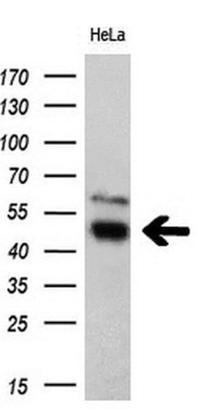 TFG Mouse anti-Human, Clone: OTI2C3, liquid, TrueMAB  100 µL; Unconjugated