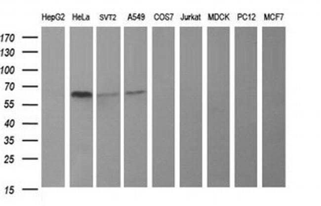 TH Mouse anti-Human, Mouse, Clone: OTI3H3, liquid, TrueMAB  100 µL;