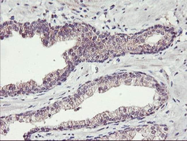 TMEFF2 Mouse anti-Human, Clone: OTI1F9, liquid, TrueMAB  100 µL; Unconjugated