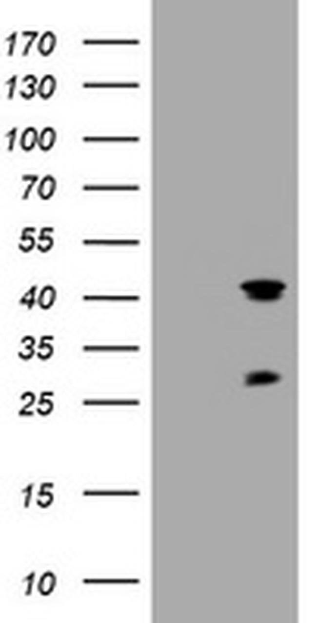 TMEM173 Mouse anti-Human, Clone: OTI3B10, liquid, TrueMAB  100 µL;