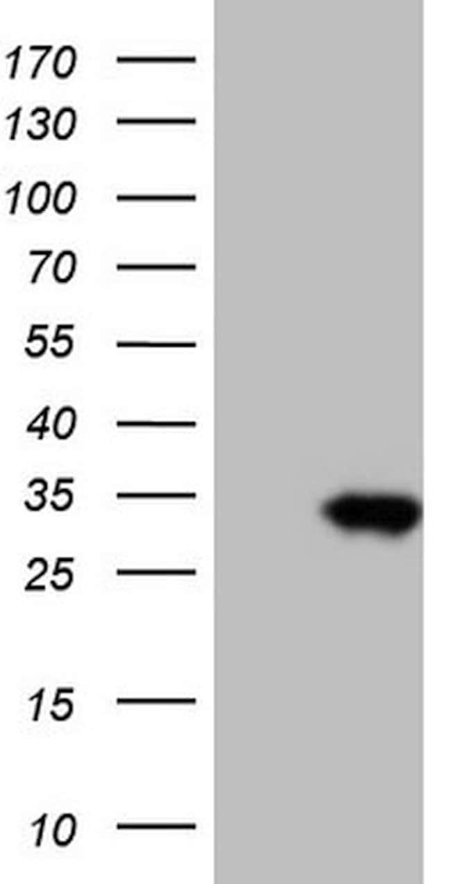 TNFRSF18 Mouse anti-Human, Clone: OTI4A9, lyophilized, TrueMAB  100 µg;
