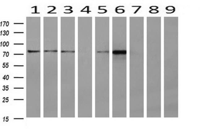 TRAP1 Mouse anti-Canine, Human, Mouse, Rat, Clone: OTI1A1, liquid, TrueMAB
