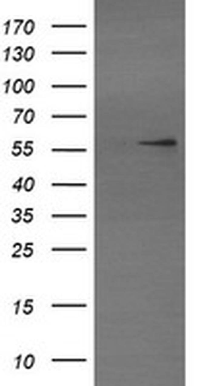 TRIM22 Mouse anti-Human, Clone: OTI1D3, liquid, TrueMAB  100 µL; Unconjugated
