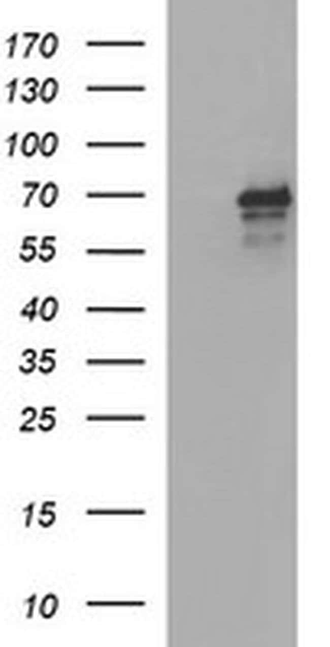 TRIM45 Mouse anti-Human, Clone: OTI2B11, liquid, TrueMAB  100 µL;